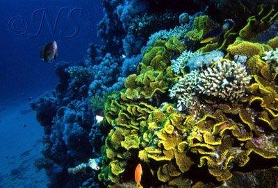 Récif de corail Mer rouge 1993