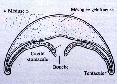 Schéma du stade méduse