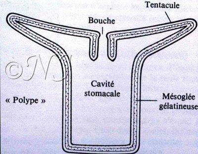 Schéma du stade polype