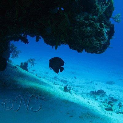 Poisson ange à l'ombre d'une grotte sous-marine