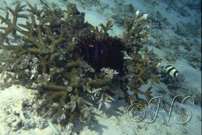 Acanthaster dévoreuse de corail
