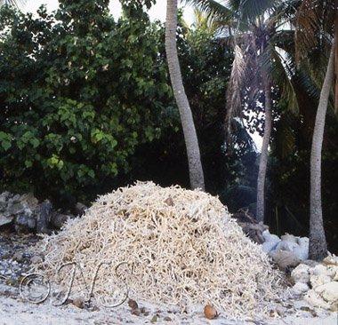Tas de corail pour faire de la chaux
