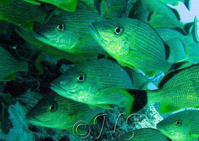 Banc de poissons grogneurs