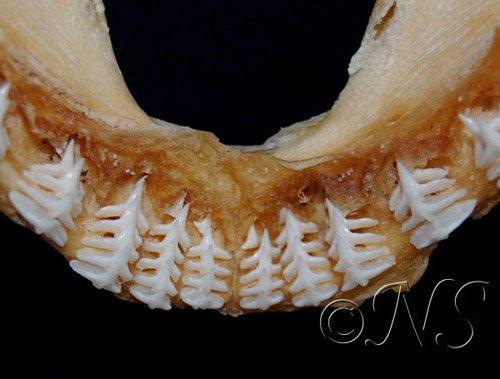 Dents de l'ange de mer