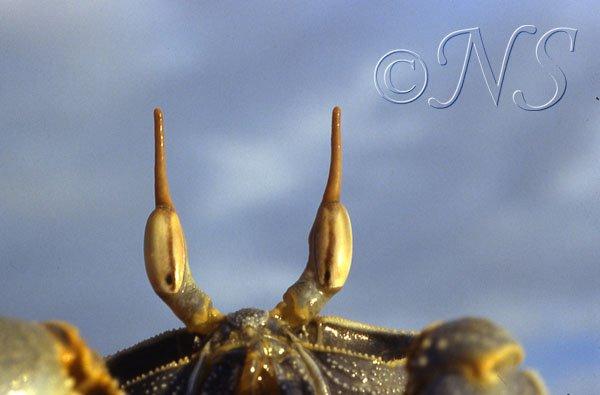 Les yeux du crabe