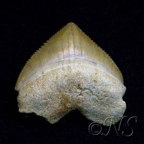 Dent fossile de requin corax