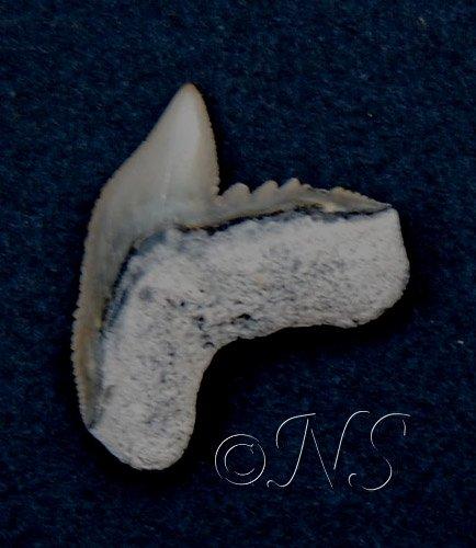 Dent fossile de requin tigre