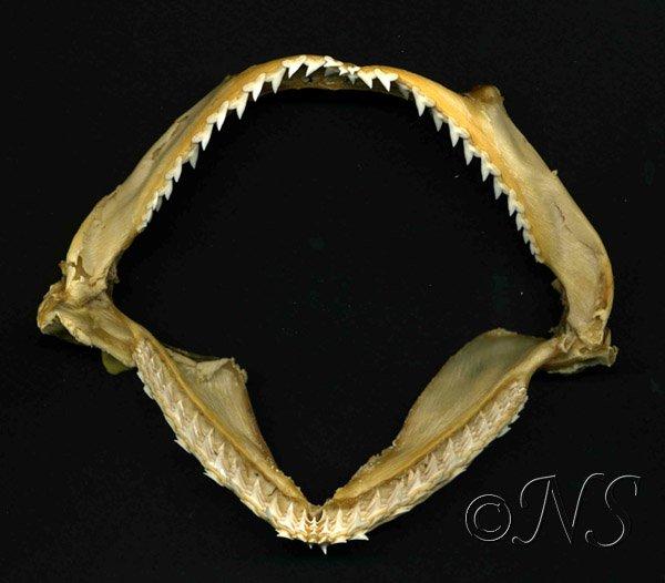 Mâchoire de requin marteau