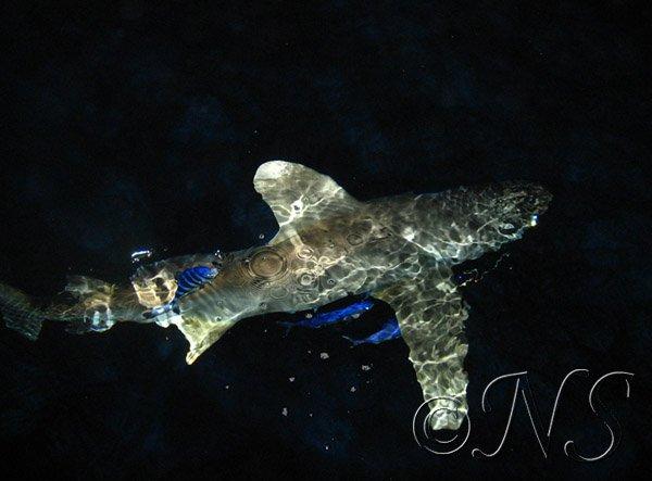 Requin océanique aux Iles Brothers, mer rouge 2008