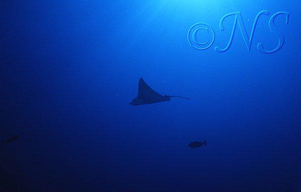 Raie suspendue dans le bleue Thulaghiri Maldives 1986