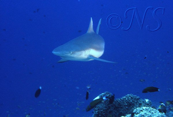 Requins Thulaghiri Maldives 1986