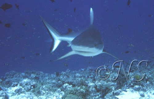 Requin gris, Maldives 1986
