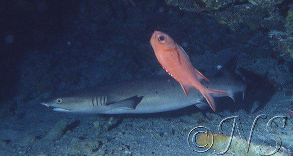 Requin corail sous un surplomb Maldives 1984