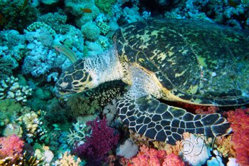 ns Mer rouge tortue (12)