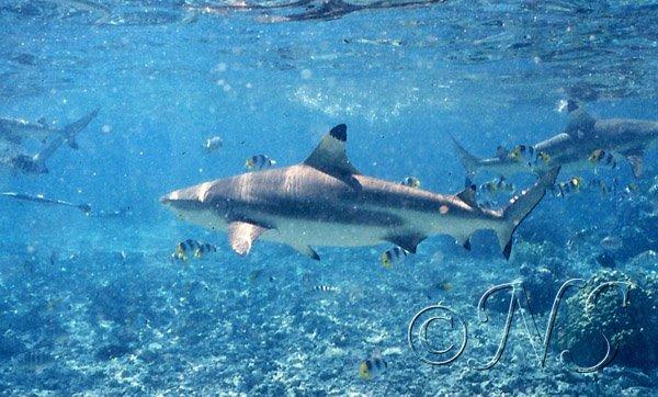 Requin pointe noire, lagon de Bora Bora,1993