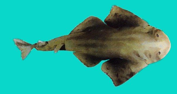 Requin ange de mer
