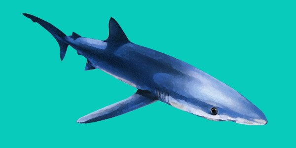 Requin peau bleue