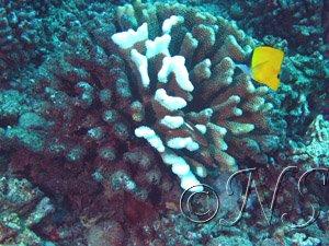Blanchissement du corail Mooréa