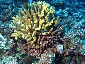 blanchissement du corail Moorea