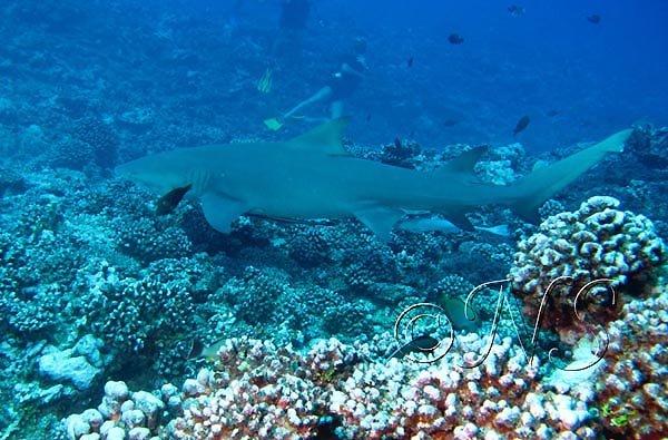 Requin citron, récif de Moorea