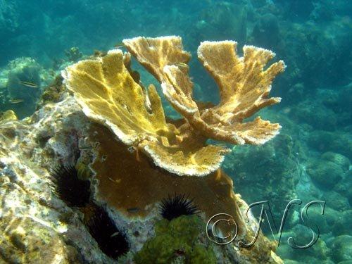 Corail corne de cerf Guadeloupe
