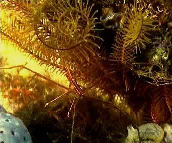 Crabe Inachus dans comatule