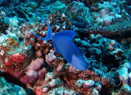 Baliste bleu Mooréa 2009