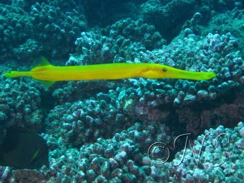 Poisson trompette Moorea 2009