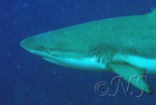 Requin pointe noire ,récif de Moorea