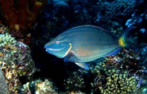 Poisson peroquet Guadeloupe