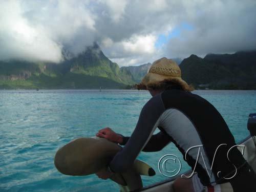 Marquage des requins pointes noires Moorea