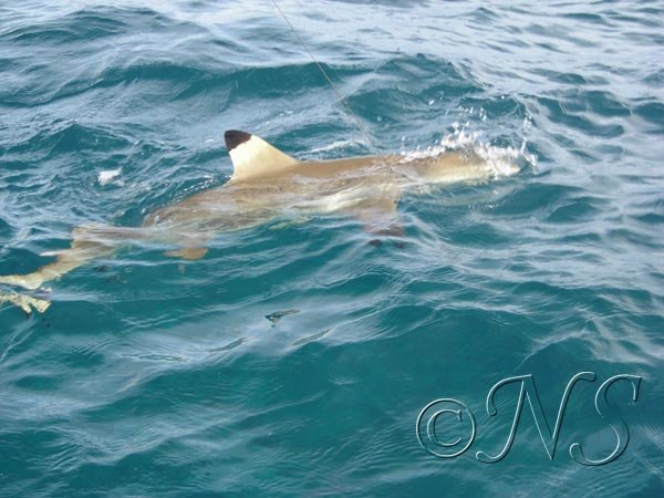 Etude des requins pointe noire Moorea