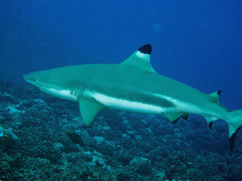 Requin pointe noire Moorea 2009