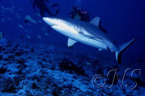 Requin gris de récif Rangiroa