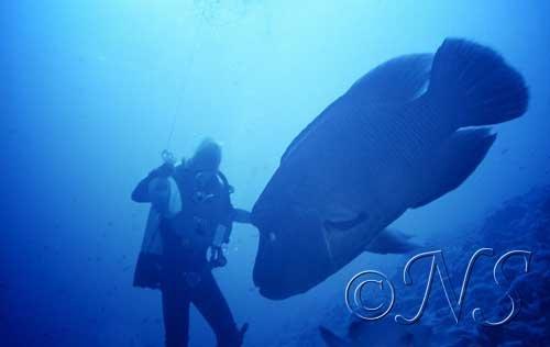 Gros poisson Napoléon
