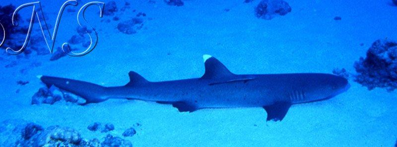 Requin corail au repos