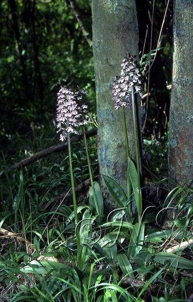 Orchis purpurea Villiers St Frédéric