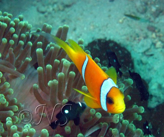 Poisson clown Golfe de Tadjoura Djibouti