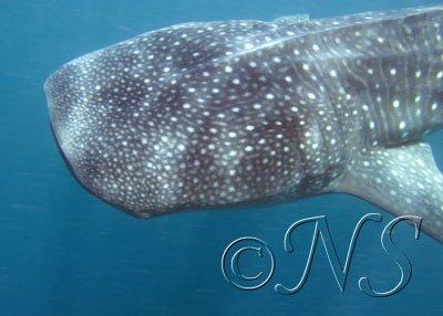 Requin baleine Golfe de Tadjoura Djibouti