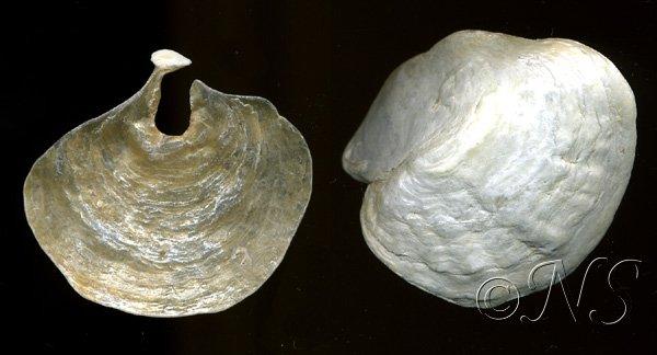 Anomie pelure d'oignon