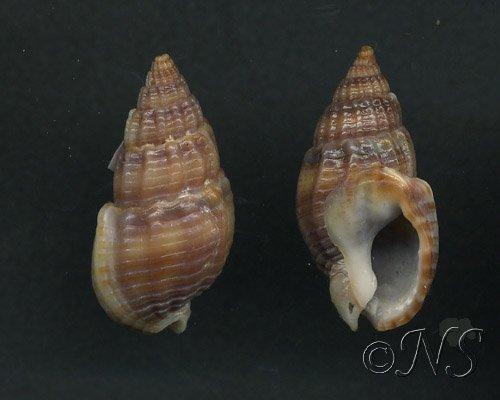 Nassarius reticulatus var. ?