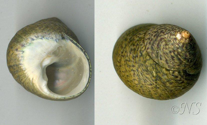 Monodonta crassa