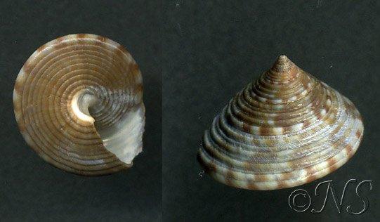 Calliostoma zizyphinus