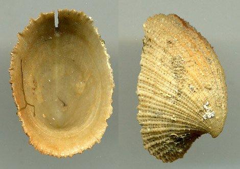 Emarginelle Méditerranée 2 cm
