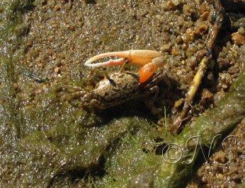 Nosy Bé crabe de mangrove
