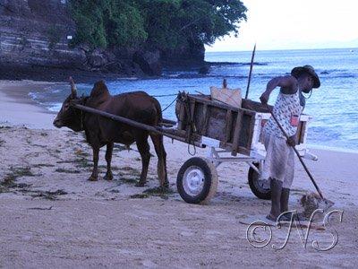 Charette et zébu plage de Nosy Bé
