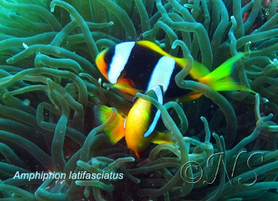Amphiprion latifasciatus Nosy Bé