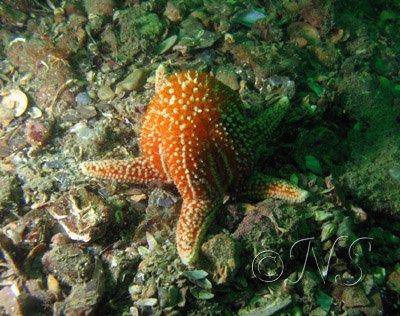 Position de ponte de l'étoile de mer , Golfe du Morbihan