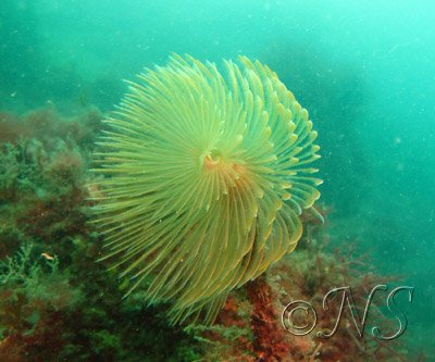 Spirographe, Golfe du Morbihan