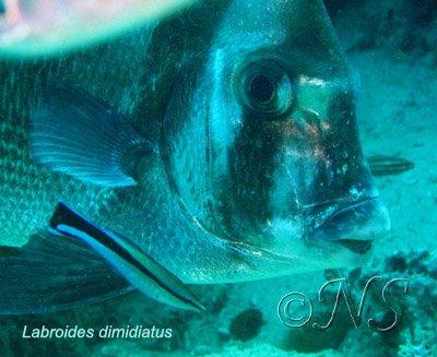 Platax et poisson nettoyeur Nosy Bé